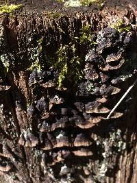 Image of Hymenochaete rubiginosa
