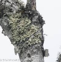 Flavoparmelia caperata image