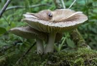 Megacollybia platyphylla image