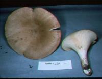 Leucopaxillus giganteus image