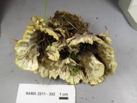 Thelephora vialis image
