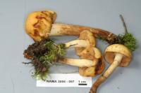 Pholiota alnicola image