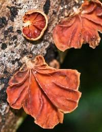 Anthracophyllum archeri image
