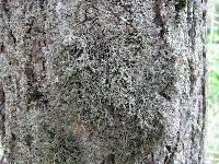 Anaptychia szechuensis image