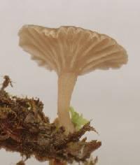 Arrhenia rickenii image