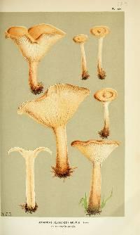 Image of Agaricus gilvus