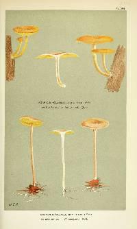 Image of Agaricus macilentus