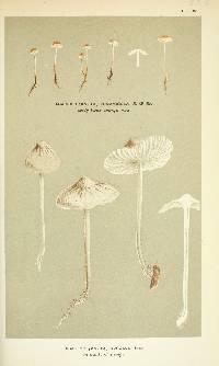 Image of Agaricus psammicola