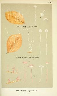 Image of Agaricus juncicola