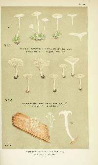 Image of Agaricus pseudoandrosaceus