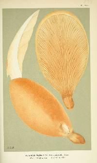 Image of Agaricus pantoleucus