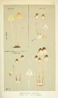 Image of Agaricus chelidonius