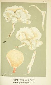 Agaricus ruthae image
