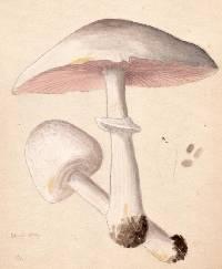 Agaricus berberidis image