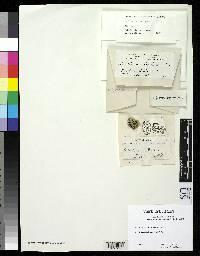 Image of Acolium farlowi
