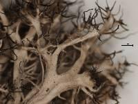 Anaptychia crinalis image