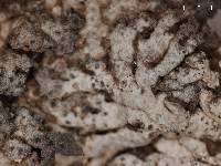 Anaptychia desertorum image