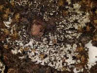 Anaptychia galactophylla image