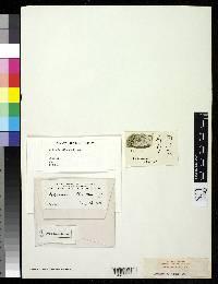 Arthonia alba image