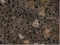 Arthonia apotheciorum image