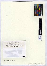 Arthonia cyanea image