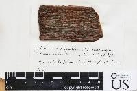 Arthonia hypobela image