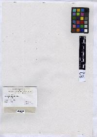 Arthonia oxytera image