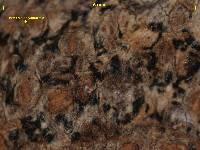 Arthonia phlyctiformis image