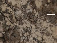 Arthonia subpruinosa image