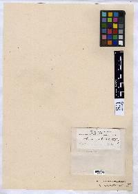 Arthonia substellata image