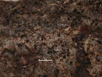 Arthonia tenellula image