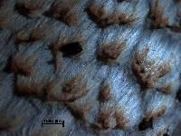 Coprinopsis strossmayeri image