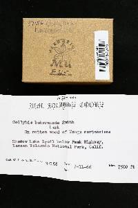 Collybia bakerensis image