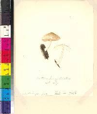 Pluteus longistriatus image