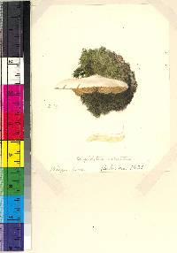 Crepidotus versutus image