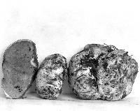 Rhizopogon idahoensis image