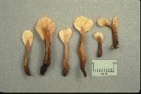 Spathularia velutipes image