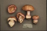 Cortinarius variicolor image