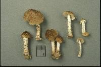Psathyrella subamara image