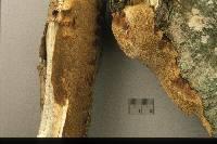 Phellinus inermis image