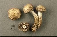 Psathyrella cotonea image