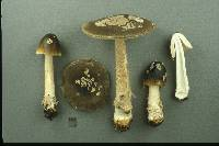 Amanita variicolor image