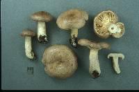 Lactarius mackinawensis image