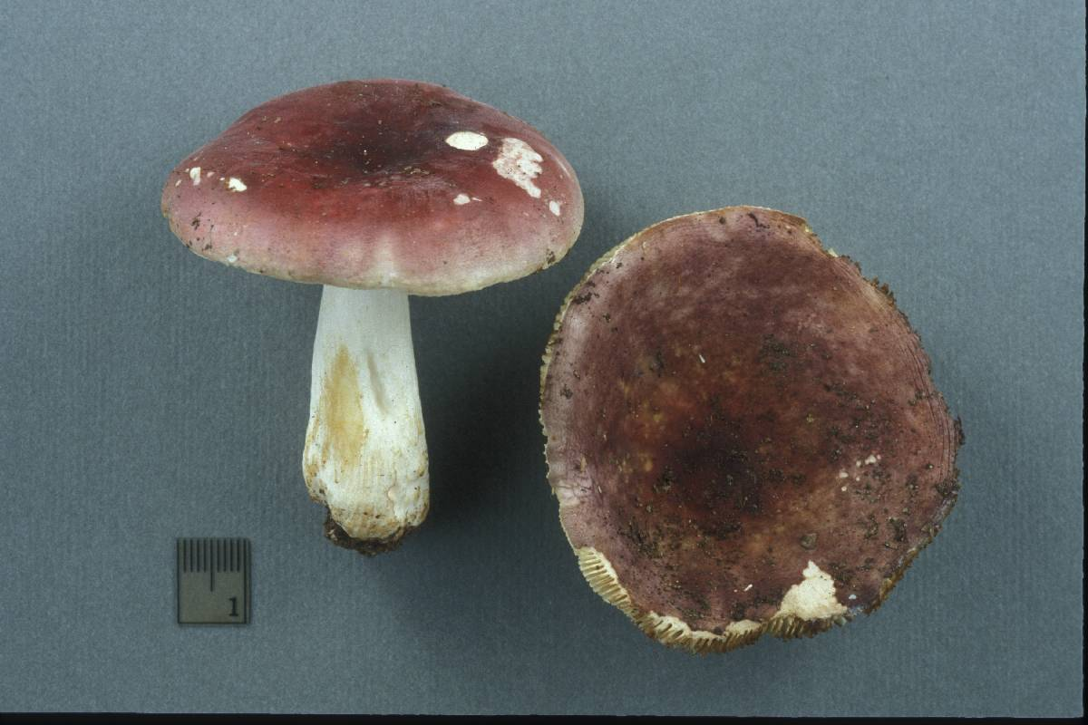Russula purpurata image