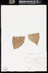 Image of Puccinia exaltata