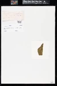 Uromyces pianhyensis image