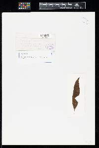 Image of Uredo eupatoriicola