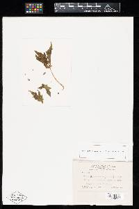 Image of Uredo operculariae