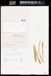 Macabuna poae-sudeticae image
