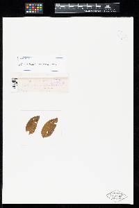 Image of Uredo copaiferae